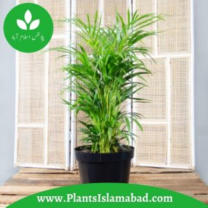 Bamboo Palm Plants in Pakistan
