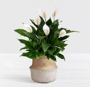 Peace Lily plants in Islamabad